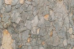 O teste padrão da camuflagem gosta da casca de árvore de Platunus do sicômoro Imagens de Stock Royalty Free