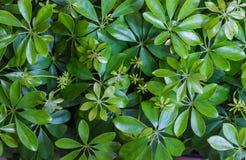 O teste padrão do fundo das plantas decorativas do actinophylla do Schefflera do guarda-chuva do anão, verde vertical sae de Bush Foto de Stock