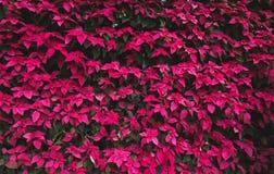 O teste padrão do Natal das folhas da poinsétia, o vermelho e o verde folheia árvore fotos de stock