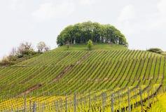 O teste padrão formou por fileiras de vinhas no vinhedo Castell fotos de stock royalty free