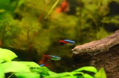 Os peixes tetra de néon Imagem de Stock Royalty Free