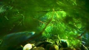 O tetrazona de Sumatran Barbus Puntigrus está nadando entre as algas A luz do sol e o brilho bonitos criam um atmosphe morno e má filme