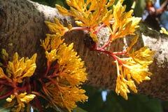 O thaipingensis de Saraca brota com opinião do tronco no jardim fotografia de stock