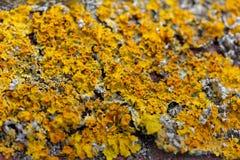 O thallus do close up da parede de Xanthoria do líquene Foto de Stock Royalty Free
