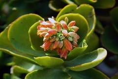 O thyrsiflora de Kalanchoe é um nativo suculento da planta de Madacascar que produz flores bonitas imagens de stock royalty free