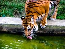 O tigre alaranjado grande bebe a ?gua Tigre com ling?eta para fora imagens de stock royalty free