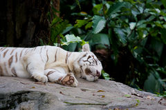 O tigre branco está encontrando-se na rocha Fotografia de Stock Royalty Free