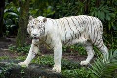 O tigre branco prance Fotografia de Stock
