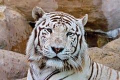 O tigre branco ? um indiv?duo do tigre de Bengal com uma muta??o congenital n?o considerado subesp?cie separada fotos de stock
