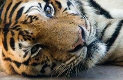 O tigre de Bangal em um jardim zoológico encontra-se para baixo e olhar fixamente Imagem de Stock Royalty Free