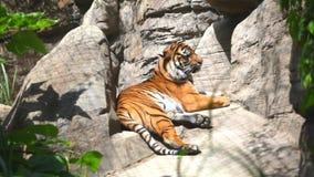 O tigre de Bengal que coloca em rochas vídeos de arquivo