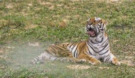 O tigre de bocejo Fotografia de Stock