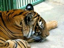O tigre do sono Imagens de Stock Royalty Free
