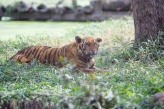 O tigre dorme calma imagens de stock royalty free