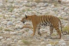 O tigre espreita sobre Imagem de Stock