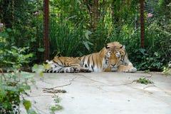 O tigre está dormindo em uma gaiola no jardim zoológico imagens de stock