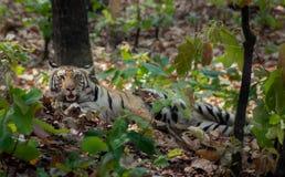 O tigre está sentando-se na selva em Bhandhavgarh Imagens de Stock