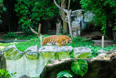 O tigre grande Foto de Stock Royalty Free