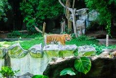 O tigre grande Imagens de Stock Royalty Free