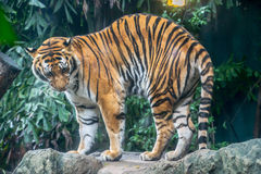 O tigre grande no jardim zoológico Imagens de Stock Royalty Free