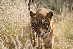 O tigre INDIANO fotografia de stock royalty free