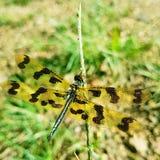 O tigre modelou a mosca de Drafon imagem de stock