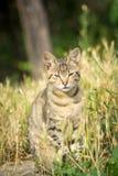 O tigre modelou o gato disperso que senta-se na grama e que levanta ao Imagens de Stock Royalty Free