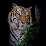 O tigre que olha sua rapina e apronta-se para travá-la Fotos de Stock Royalty Free