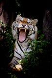 O tigre que olha sua rapina e apronta-se para travá-la Imagens de Stock Royalty Free