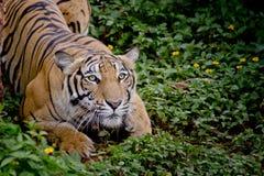 O tigre que olha sua rapina e apronta-se para travá-la Imagem de Stock Royalty Free