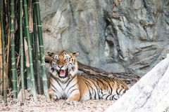 o tigre rujir Fotografia de Stock Royalty Free