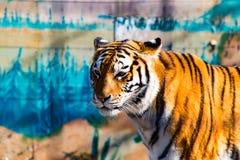 O tigre selvagem Imagens de Stock