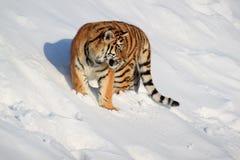 O tigre siberian selvagem está caçando para sua rapina Foto de Stock