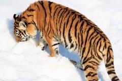 O tigre Siberian selvagem procura sua rapina Imagem de Stock Royalty Free
