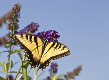 O tigre two-tailed Swallowtail Imagem de Stock