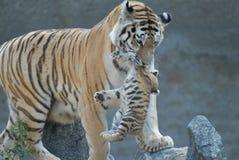 O Tigress esconde o filhote. foto de stock