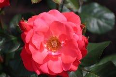 O tipo de Rosa nomeou o castelo de Dôvar no close-up isolado de um rosarium em Boskoop os Países Baixos imagens de stock royalty free