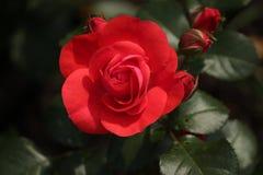 O tipo de Rosa nomeou o castelo de Dôvar no close-up isolado de um rosarium em Boskoop os Países Baixos imagens de stock