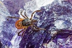O tiquetaque de madeira (Ixodidae) imagem de stock royalty free