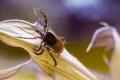 O tiquetaque de madeira (Ixodidae) Imagem de Stock