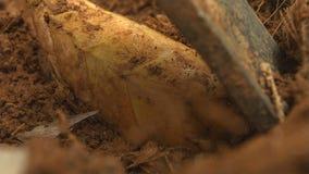 O tiro de bambu na natureza da floresta é matéria prima a cozinhar alimento delicado que cresce na montanha imagem de stock royalty free