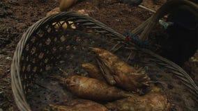 O tiro de bambu na natureza da floresta é matéria prima a cozinhar alimento delicado que cresce na montanha imagem de stock