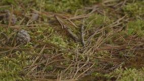 O tiro do baixo ângulo da terra cobriu o musgo, as agulhas e os cones na floresta do pinho vídeos de arquivo