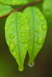O tiro macro da folha é religiosa perfumado Benth de Wrightia Fotografia de Stock