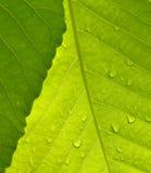 O tiro macro das folhas esverdeia na natureza Foto de Stock