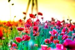 O tiro macro de uma flor vermelha da papoila em um campo colorido, abstrato e vibrante da flor, um prado completamente do verão d Foto de Stock