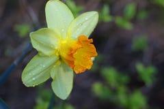 O tiro macro do narciso amarelo com água deixa cair após um chuveiro de chuva Foto de Stock