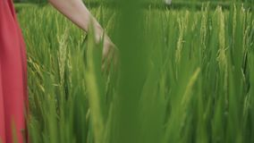 O tiro próximo no movimento lento, o modelo gasta sua mão nos spikelets do arroz verde que crescem no campo sob vídeos de arquivo