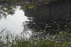 O tiro subaquático da grama e das plantas submergiu na água clara com lotes dos airbubbles e da reflexão na subsuperfície Foto de Stock Royalty Free