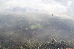 O tiro subaquático da grama e das plantas submergiu na água clara com lotes dos airbubbles e da reflexão na subsuperfície Imagens de Stock Royalty Free